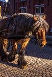 Horse-drawn μεταφορές στη Μπρυζ, Βέλγιο Στοκ εικόνες με δικαίωμα ελεύθερης χρήσης