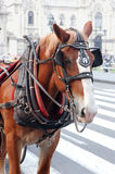 Horse Drawn. A horse used for pulling a carriage Stock Image
