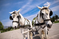 Horse drawn carriage. At wedding stock photography