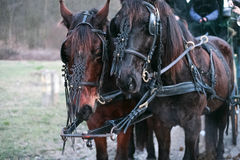 Horse-drawn. Carriage with beautiful harness Royalty Free Stock Photography