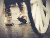 Hind hoofs with horseshoes of a harnessed horse, behind a wheel of the carriage. Horse-drawn transport. Hind hoofs with horseshoes of a harnessed horse, behind Stock Photos