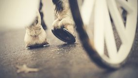 Hind hoofs with horseshoes of a harnessed horse, behind a wheel of the carriage. Horse-drawn transport. Hind hoofs with horseshoes of a harnessed horse, behind Royalty Free Stock Images
