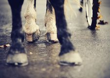 Legs of the horse harnessed in the carriage. Royalty Free Stock Image