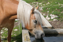 Horse by drink. In the dolomite meadow stock photo
