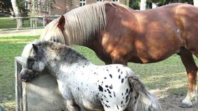 Horse drink water on the farm. Sunny morning stock footage