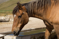 Horse drinking Stock Photography