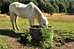 Horse drinking. Wild white horse drinking in a rural place Royalty Free Stock Photography