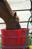 Horse Drinking. Water from a red plastic water barrel Royalty Free Stock Photos