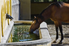 Horse drinking Royalty Free Stock Images