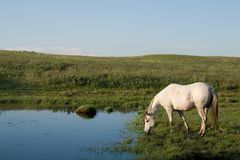 Horse drinking from creek Royalty Free Stock Photography