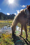 Horse drinking in High Altitude. When hiking in the coutry road at about the altitude 4200m, the horse drink and rest stock images