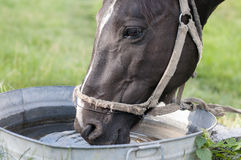 Horse drinking out of a water Stock Images
