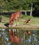 Horse drinking from pond. Arabian horse drinking out of pond with a boxer dog Royalty Free Stock Photos