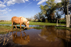 Horse drinking from pond. Horse on ranch drinking water from a pond Stock Photography