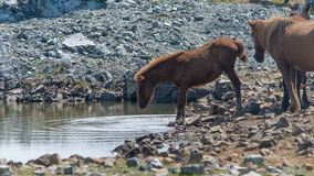 Horse drinking in a pond Royalty Free Stock Images