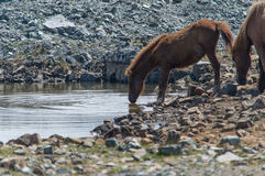Horse drinking in a pond Stock Photography