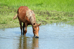 Horse drinking water Stock Images