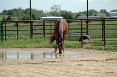 Horse drinking water. Bay thoroughbred horse playing in puddle and drinking water Stock Photos