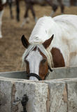 Horse drinking. Royalty Free Stock Photo