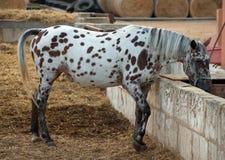 Horse drinking. Stock Photo