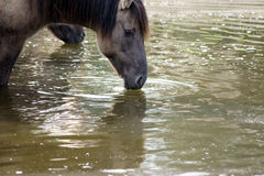 A horse is drinking water at a horse trough and is mirrored on the surface. Royalty Free Stock Photography