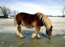 Horse Drinking Water from Melted Ice and Snow. On a spring day, a workhorse is drinking water from melted snow and ice Stock Image