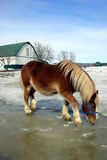 Horse Drinking Water from Melted Snow. During spring, a workhorse is drinking water from melted snow and ice Stock Photo
