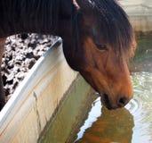Horse Drinking Stock Image