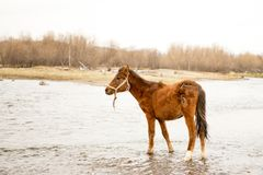 Horse drinking water. The horse watering place on the river in the spring cloudy day royalty free stock images