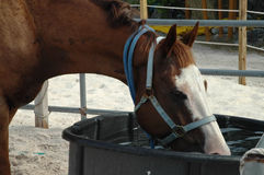 Horse drinks water Stock Images