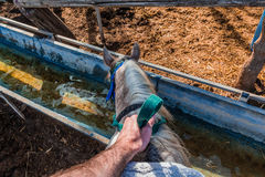 Horse drinks water from a water tank - Rider first person pov Stock Photo