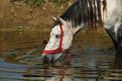 Horse drinks water at the watering hole. Beautifull horses at the wathering Stock Photography