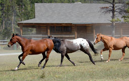 Horse Drive 3. Horses running past ranch house stock image