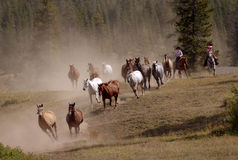 Horse Drive with Two Cowgirls. Horses running over hill with two cowgirls royalty free stock photos