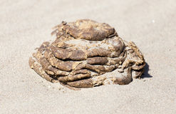 Horse droppings in the sand Stock Image