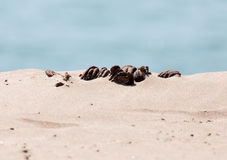 Horse droppings in the sand Royalty Free Stock Photo