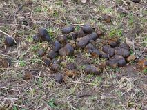 Horse dung. A pile of horse dung close-up on the ground Stock Images