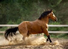 Horse in the dust Royalty Free Stock Photography