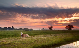 Horse on Dutch pasture at sunrise Royalty Free Stock Photography