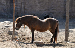 Horse dwarf Royalty Free Stock Image