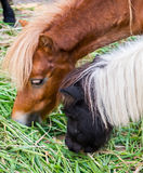 Horse dwarf young eating Stock Image