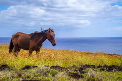 Horse on easter island cliffs Stock Images
