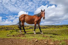 Horse in easter island field. Pacific ocean, Chile royalty free stock photography