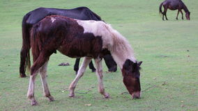 Horse eat or foraging in green grass field stock video footage