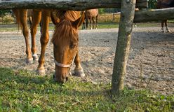 The horse eat grass. The horse eat grass, in the corral stock images