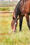 Horse eat grass Stock Photos
