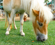 Horse eat Royalty Free Stock Photo