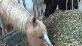 Horse eat hay in stable