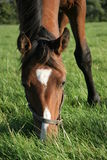 Horse eating. A brown horse eating some grass in a meadow, its head down royalty free stock photo