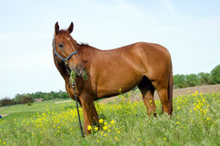 Horse eating alfalfa Royalty Free Stock Photography